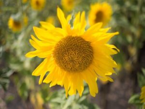 sunflower-3607265_640 girassol 1